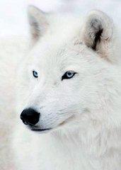 Таксопарк Белый волк