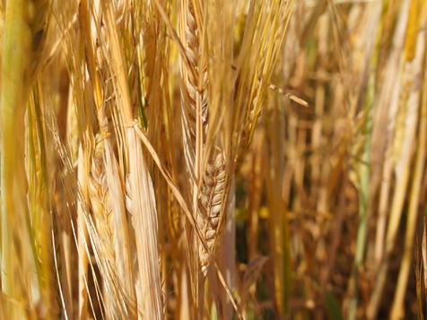 Выращивание зерновых