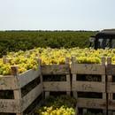 Солнце и лоза: как работают в винодельческой промышленности в Краснодарском крае